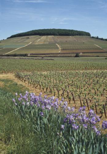 Corton_Hill_from_road_to_Pernand-Vergelesses.jpg