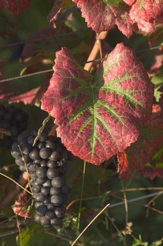 pinot_noir_from_Les_Amoureuses_Chambolle-Musigny_3669.jpg